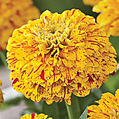 Zinnia elegans 'Pop Art Golden & Red' - 1 packet (40 seeds)