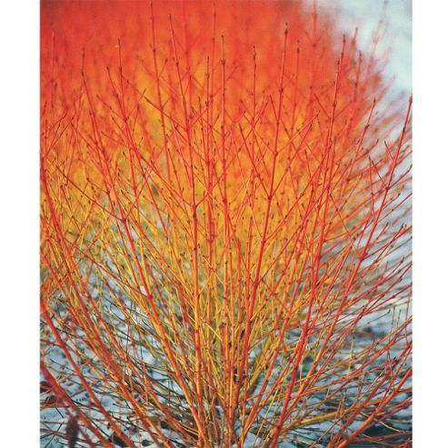 Cornus sanguinea 'Winter Flame' - 1 x 9cm potted plant