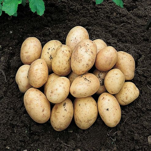 Potato 'Orla' - 10 tubers
