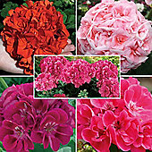 Giant Geranium Collection - 15 jumbo plugs - 3 of each variety