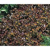 lettuce (loose-leaf) (lettuce 'Red Salad Bowl')