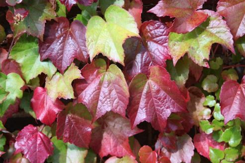 Boston Ivy (Parthenocissus tricuspidata 'Veitchii')