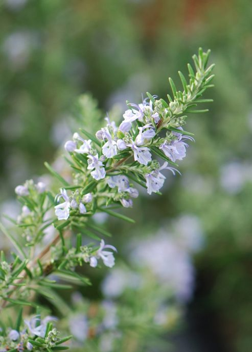 rosemary promotion - 6 pack (Rosmarinus officinalis)