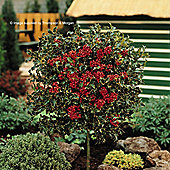 Holly 'Green Alaska' - 2 x 3 litre potted plants