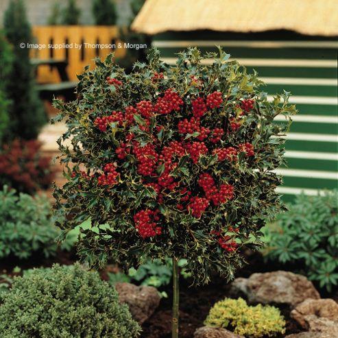 buy holly 39 green alaska 39 2 x 3 litre potted plants from. Black Bedroom Furniture Sets. Home Design Ideas