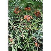 spurge (Euphorbia griffithii 'Fireglow')