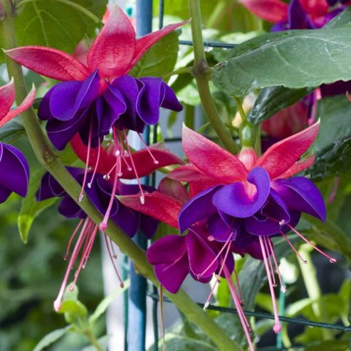 Fuchsia 'Duke of Wellington' - 9 Postiplugs
