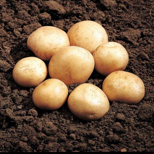 Potato 'Rocket' - 20 tubers