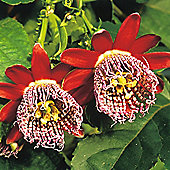Passiflora alata - 1 packet (6 seeds)
