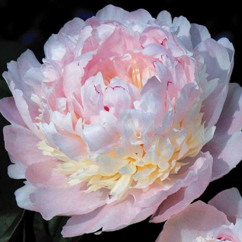 Peony 'Eden's Perfume' - 1 bareroot plant