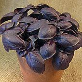 Basil 'Crimson King' - 1 packet (150 seeds)