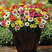 Zinnia marylandica 'Zahara Mixed' - 1 packet (15 seeds)