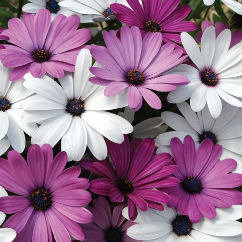 Osteospermum hybrida 'Passion Mixed' - 24 plugs
