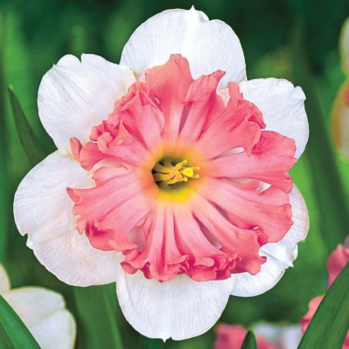 Narcissus 'Shrike' - 10 bulbs