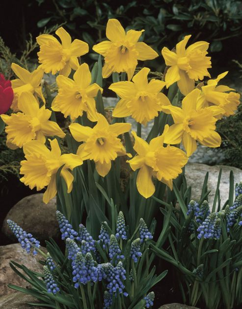 trumpet daffodil King Alfred (Narcissus 'King Alfred')