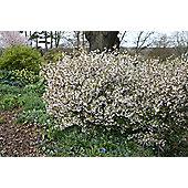 Fuji cherry (Prunus incisa 'Kojo-no-mai')