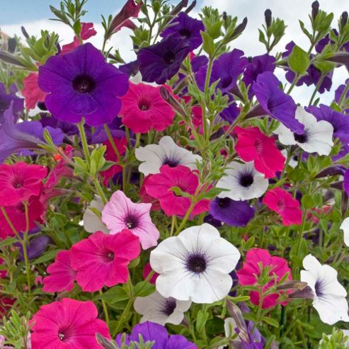 buy petunia 39 surfinia 39 20 plants from our plants range. Black Bedroom Furniture Sets. Home Design Ideas