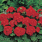 Geranium 'Moulin Rouge' F1 Hybrid - 1 packet (6 seeds)