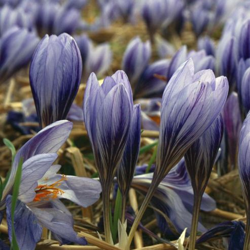 Crocus cancellatus - 30 bulbs