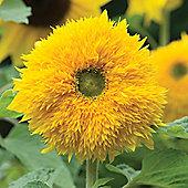 Sunflower 'Sunshot Golds Mixed' F1 Hybrid - 1 packet (10 seeds)