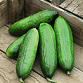 Cucumber 'Vega' F1 Hybrid - 1 packet (4 cucumber seeds)