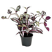 30CM TRADESCANTIA POTTED PLANT - PURPLE