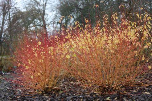 dogwood (Cornus sanguinea 'Midwinter Fire')