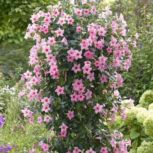 Buy sundaville 39 pink 39 1 plant in 9cm pot from our plants - Plantas resistentes al frio ...