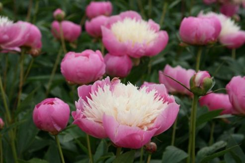 paeony / peony (Paeonia lactiflora 'Bowl of Beauty')