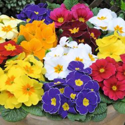 Primrose 'World's Most Scented Mix' - 72 plugs