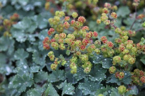 lady's mantle (Alchemilla erythropoda)