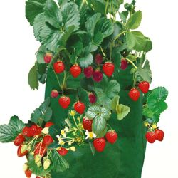 Strawberry Patio Planter - 2 planters