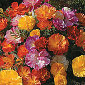 Californian Poppy 'Jelly Beans' - 1 packet (125 seeds)