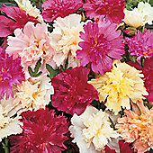 Hollyhock 'Majorette Mixed' - 1 packet (80 seeds)