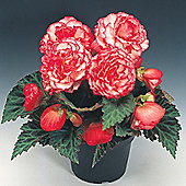 Begonia x tuberhybrida 'Nonstop® Rose Petticoat' F1 Hybrid - 1 packet (25 seeds)