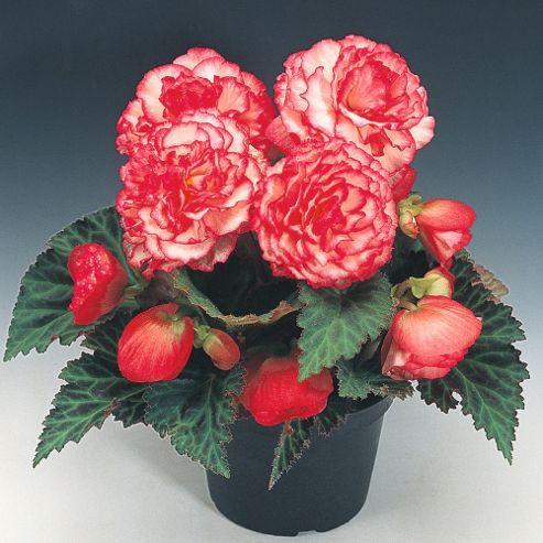 Begonia x tuberhybrida 'Nonstop® Rose Petticoat' F1 Hybrid - 1 packet (25 seeds)