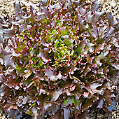 Lettuce 'Mazurosso' (Loose-Leaf) - 1 packet (250 lettuce seeds)