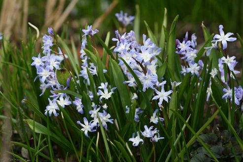 glory of the snow bulbs (Chionodoxa luciliae)