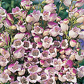 Penstemon x hybrida 'Lilac Frost' - 1 packet (50 seeds)