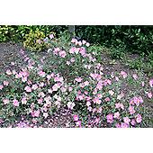 rock rose (Cistus ? argenteus 'Silver Pink')