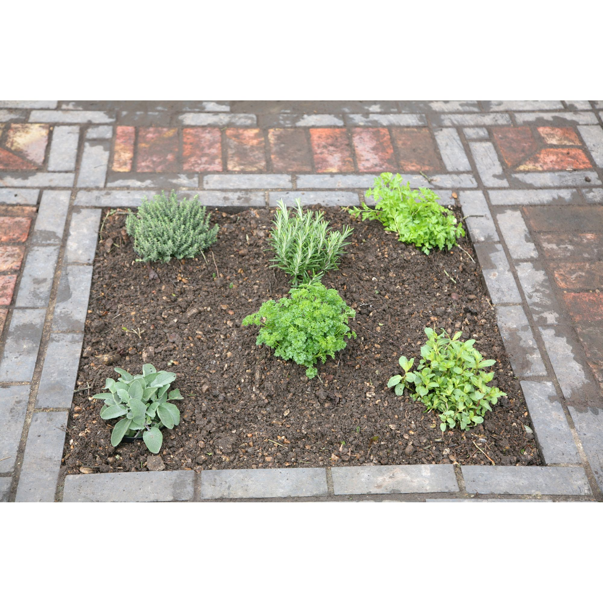 herb collection - mint, rosemary, thyme, parsley, sage and chives or lavender (Herb collection (6 mixed herbs))