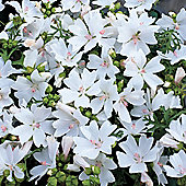 Malva moschata 'Snow White' - 1 packet (40 seeds)
