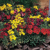 Wallflower 'Tom Thumb Mixed' - 1 packet (200 seeds)