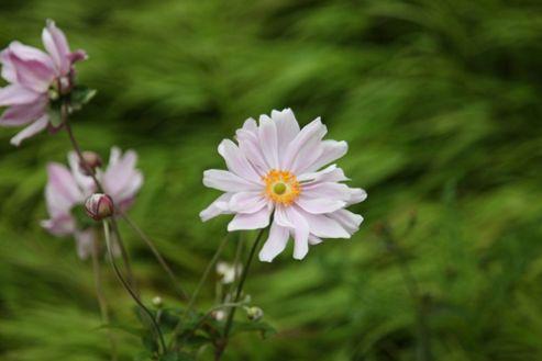 Japanese anemone (Anemone ? hybrida 'K?nigin Charlotte')