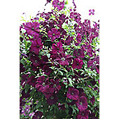 clematis (group 3) (Clematis 'Royal Velours')