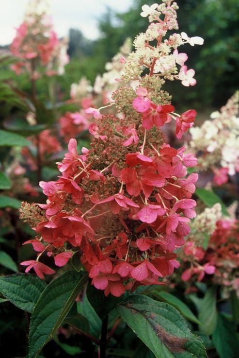 hydrangea (Hydrangea paniculata Pinky Winky ('Dvppinky') (PBR))