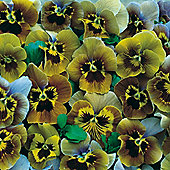 Pansy 'Envy' - 1 packet (20 seeds)