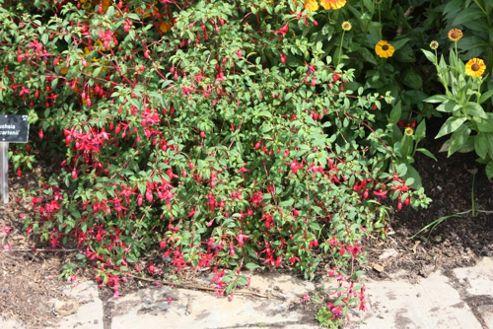 fuchsia (Fuchsia 'Riccartonii')