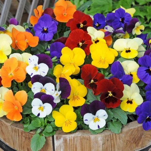 Viola 'Most Scented' Mix - 36 plugs