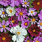 Cosmos bipinnatus 'Double All Sorts Mixed' - 1 packet (100 seeds)